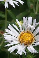 Aster novae-angliae 'Chilly Winds', white flowering perennial blooms in autumn fall