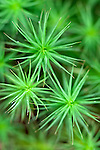 Close-up of haircap moss, which grows abundantly in the forests of Acadia National Park, Maine, USA
