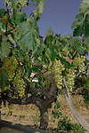 Abundant bunches of grapes hanging from vines in Tenerife. San Miguel,Tenerife, Canary Islands.