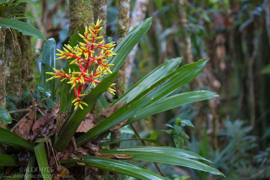 Bromeliad {Guzmania scherzeriana} growing in a rainforest tree. Cordillera de Talamanca mountain range, Caribbean Slopes, Costa Rica. June.
