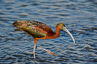 550100018 a wild glossy ibis plegadis falcinellus in breeding plumage feeds along the los angeles river in the sepulveda basin in los angeles county california approximately 1500 miles west of its normal range