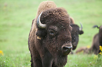 A buffalo is pictured at Empire Buffalo farm in Chittenango, NY, Wednesday September 11, 2013. The American bison (Bison bison), also commonly known as the American buffalo, is a North American species of bison.