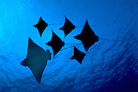 Several spotted eagle ray Aetobatus narinari photographs were combined digitally to create this squadron of cartilaginous winged creatures.<br />