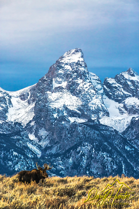 Bull Moose in his autumn and early winter range helping the Grand Tetons even grander in Jackson Hole Wyoming
