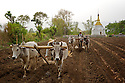 Overlooked by a Buddhist temple, men plough a field helped by oxen.