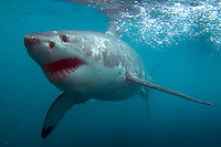 GANSBAAI, SOUTH AFRICA, DECEMBER 2004. A Great White examines the cage. Brian Mc Farlane organises Great White Shark cage diving tours out of Gansbaai. Gansbaai is one of the best places in the world to see the Great white in its natural habitat. Photo by Frits Meyst/Adventure4ever.com