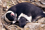 African Penguin With Flipper Tag