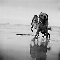 Tule and a golden retriever play on the beach on the Northern California coast.