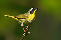 599350014 a wild common yellowthroat geothlypis trichas perches on a small tree limb in the angelina forest in jasper county east texas