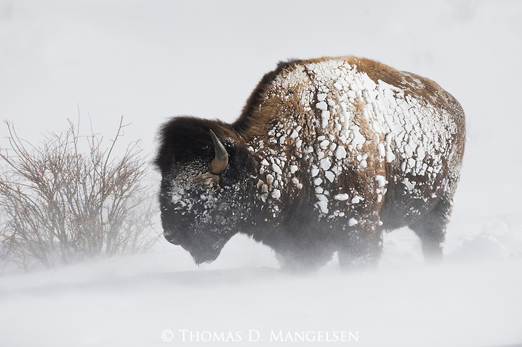 A bison stands in the blowing snow in Yellowstone National Park, Wyoming.