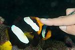 Clarks anemonefish (Amphiprion clarkii) biting a diver's finger
