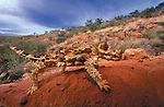 Thorny Devil, MacDonnell Ranges, Northern Territory, Australia
