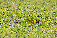 424370001 a wild lowland leopard frog lithobates yavapaiensis peers out from duckweed covered empire creek las cienegas natural conservation area pima county arizona