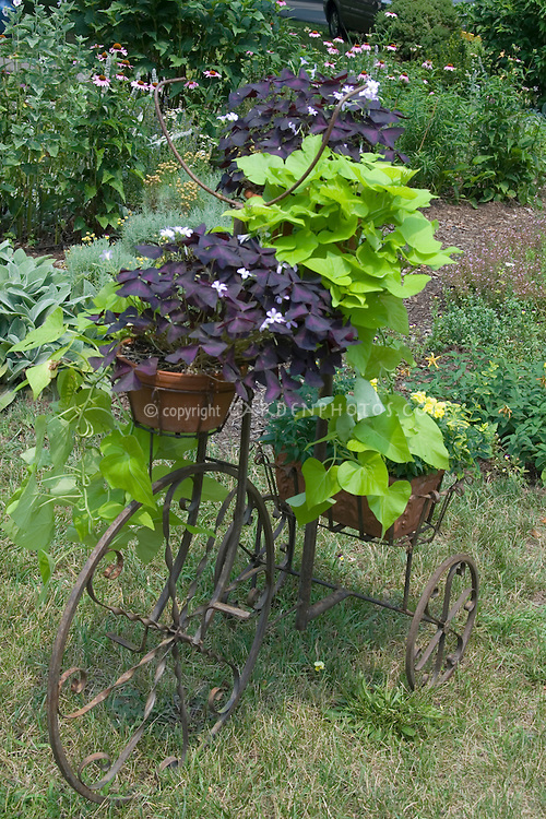 Ipomoea 'Sweet Carolina Green' with purple Oxalis in pots in rustic bicycle planter