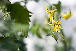 "Photo shows the flower of  ""Sendai Recovery"" tomatoes being are grown hydroponically in Sendai, Miyagi Prefecture, Japan on 30 Nov., 2011. .Photographer: Robert Gilhooly"