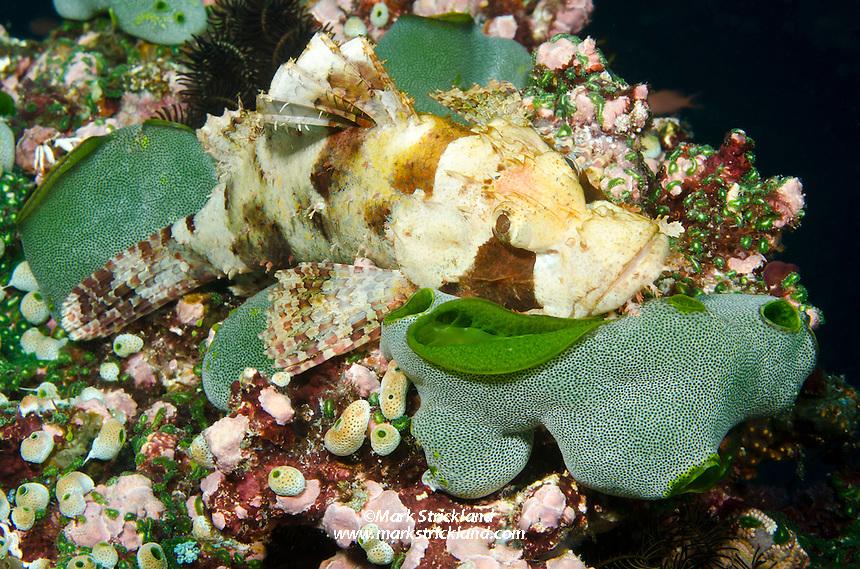 Papuan Scorpionfish, Pulau Soangi, Alor, Savu Sea, Indian Ocean, Indonesia