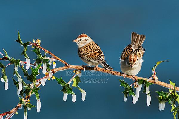Chipping Sparrow (Spizella passerina), pair perched on icy Agarita (Berberis trifoliolata) branch, Dinero, Lake Corpus Christi, South Texas, USA