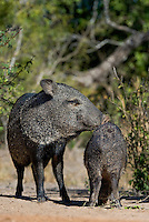 650520258 wild javelina or collared peccaries dicolyties interact on beto gutierrez santa clara ranch hidalgo county lower rio grande valley texas united states
