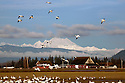 WA08122-00...WASHINGTON - Flock of snow geese in a farm field on the Fir Island section of the Skagit Wildlife Area with Mount Baker in the distance.
