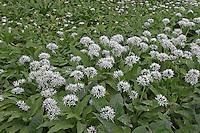 Bär-Lauch, Bärlauch, Bär - Lauch, Allium ursinum, Ramsons, Wood Garlic