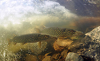 Pair of the Northern Pike<br />