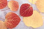 Fall aspen leaves on snow, Inyo National Forest, Sierra Nevada Mountains, California USA