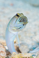 TH76390-D. Yellowhead Jawfish (Opistognathus aurifrons), male incubating eggs in mouth. Look closely to see eyes of developing embryos. Size to 4 inches long, lives in burrow on sandy bottom to 60 feet deep. Cuba, Caribbean Sea.<br /> Photo Copyright &copy; Brandon Cole. All rights reserved worldwide.  www.brandoncole.com
