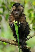 Tufted or Brown Capuchin (Cebus apella), adult eating, Pacaya-Samiria National Park, Peru
