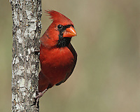 The Northern Cardinal or Redbird is a North American bird in the genus Cardinalis.