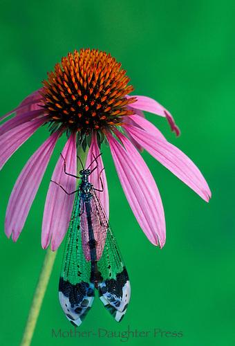 Antlion, myrmeleontidae, on coneflower, echninacea, close up, Midwest USA