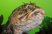 QX71468-D. Cabezon (Scorpaenichthys marmoratus). Washington, USA, Pacific Ocean.<br /> Photo Copyright &copy; Brandon Cole. All rights reserved worldwide.  www.brandoncole.com