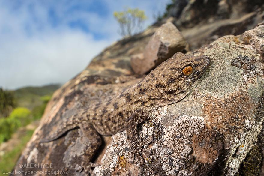 La Gomera Gecko (Tarentola gomerensis) endemic species, La Gomera, Canary Islands. March.