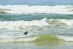 Cape Fur Seal swimming close to the shore to try and steal fish from a trek-net haul, Strandfontein beach, False Bay, Cape Town, Western Cape, South Africa