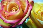 Rose Blossom