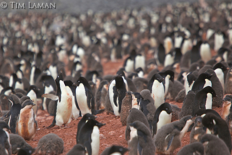 Adelie Penguin (Pygoscelis adeliae) colony on Paulet Island, Weddell Sea.