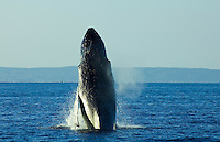 A humpback whale breachs with the island of Kahoolawe in the distance.