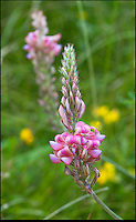 BNPS.co.uk (01202) 558833<br /> Picture: PhilYeomans/BNPS<br /> <br /> Sainfoin.<br /> <br /> Long hot summer a boost for the bee man of Salisbury Plain.<br /> <br /> One of Britains last wilderness area's is a hive of activity this summer as an army of busy bees swarm across Salisbury plain in Wiltshire.<br /> <br /> Major Chris Wilkes commands an astonishing 8 million bees in 150 hives dotted across the unique enviroment of the plain. The chalkland host's an amazingly wide range of rare wildflowers as 60,000 acres of SSSI have never been treated with modern pesticides.<br /> <br /> The wet winter and dry spring have produced perfect conditions for the diverse flora of the grasslands, with the isolation of the plain creating a cornucopia of the top nectar flowers in the UK  producing a honey with the distinctive flavour of one of Britains last wilderness areas.