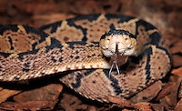 Blackheaded Bushmaster (Lachesis melanocephala), captive.