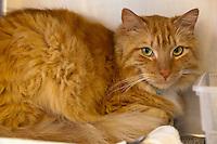 Buckley, an orange tabby male domestic longhair cat.  6920.