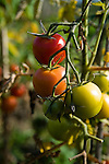 Vine tomatoes growing in an allotment pollytunnel