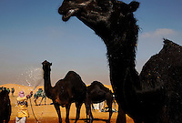 The Ramez Al Menhali compound where they wash camels in preparation for contest. <br /> From across the vast and parched Arabian Peninsula, camels converge on Abu Dhabi for an annual beauty contest. Here the traditional beast of burden becomes a pampered show animal.