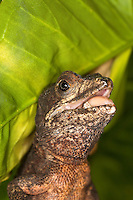 Brown Basilisk Lizard (Basiliscus vittatus) with open mouth, Captivity.