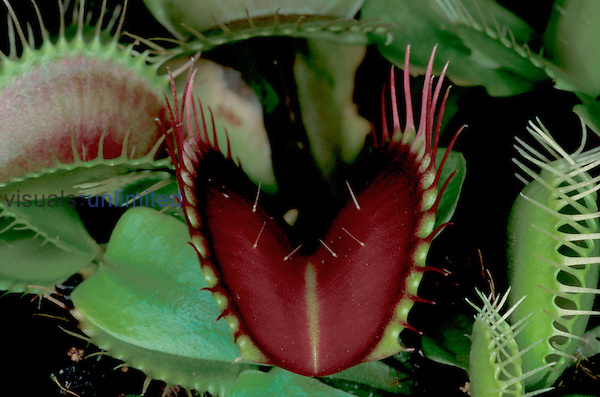 Dionaea muscipula.Venus flytrap with red marginal spines....