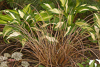 Ornamental grass sedge Carex flagellifera Toffee Twist in garden with perennial hosta