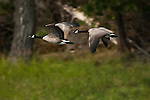 Canadian geese (branta Canadensis)in flight