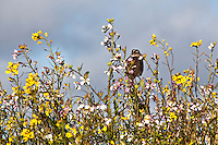 A White crowned sparrow surrounded by yellow field mustard and other white and purple wildflowers on an early May day in 2010 at Pigeon Point in California.