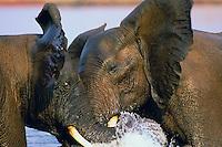 3ME260  African bull elephants (Loxodonta africana) dominance sparring in Lake Kariba, Matusadona National Park, Zimbabwe.  Sept.