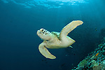 Green turtle (Chelonia mydas)  with schooling jacks (Cranax sexfasciatus) behind.