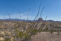 We like the distant view of the park seen through the Octillos in this desert landscape in Big bend national park.