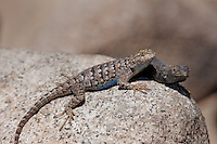 425900008 a pair of wild great basin fence lizards sceloporus occidentalis longipes perches on a large granite rock in the buttermilks along the eastern sierras in inyo county california